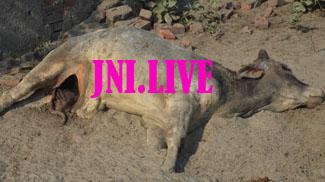 गोपाष्टमी पर भी गौसदन की गायों को भरपेट चारे की जगह मिली मौत