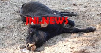 अभी भी भूखे पेट मरने को मजबूर गौसदन की गायें