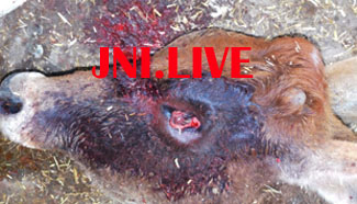 फिर शुरू हुआ गौसदन में गायों की मौत का सिलसिला,जिन्दा गाय की आँखे नोच ले गए परिन्दें